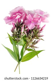 Garden pink Phlox flowers and buds  on twigs. Isolated on white studio macro shot