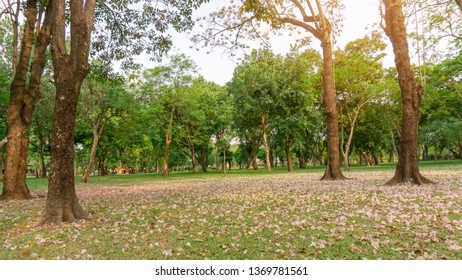 Garden of Pink Trumpet shrub or Tabebuia rosea flower blossom and fall down on green grass lawn yard under the tree, greenery leaves on background under sky in a park