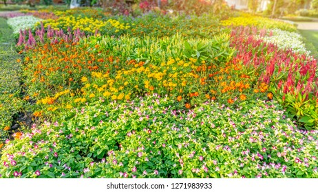 Garden of pink Wishbone flower, red Wool flowers, yellow Cosmos and colorful flowering plant blooming on green leaf of Philippine tea border under sunlight morning, good care landscaping in a park