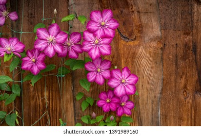 Garden plant of clematis variety Ville de Lyon against wooden wall background.