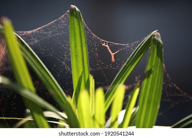 Garden plant covered by spider web.