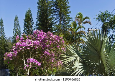 Garden with plants flowering tree of Manacá-da-Serra, pines and palm trees