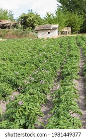Garden with the potatos (latin name Solanum tuberosum) with pink flowers, in Vojvodina in northern Serbia
