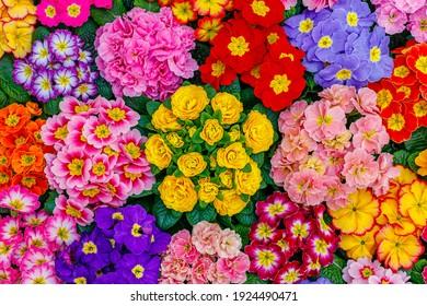 Garden Primula Flowers, top view. Multicolor Primrose Primula Vulgaris blossom. Vivid flowerscape, flat lay. Live wall of Primula Primrose  Multicolored flowers