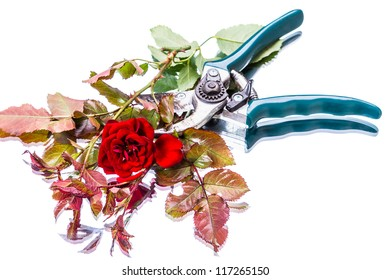 Garden pruner and red rose Isolated on white background