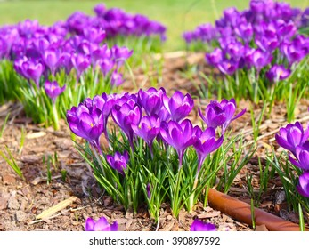 Garden of purple flowers
