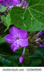 Garden purple phlox (Phlox paniculata) after a drenching, shot very tight macro