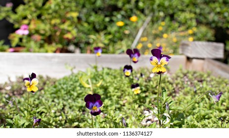 Garden Purple and Yellow Pansies