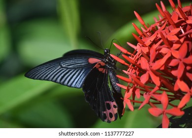 Garden with a red and black scarlet mormon butterfly.