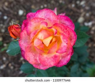 Garden red rose flower