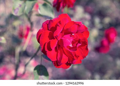 Garden red rose on blurred background, Queen of flowers and garden, floriculture