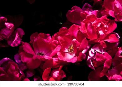 Garden of red wild roses. Rosa virginiana, Virginia Rose, Common Wild Rose or Prairie Rose