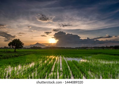 garden rice in sunset beautyfull