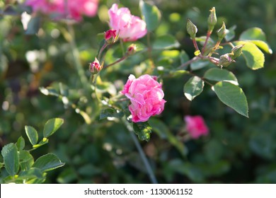 garden rose of soft pink color in the morning sunlight with dew drops on a green dark background in the garden