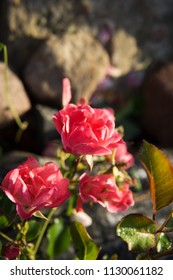 garden rose of soft pink color in the morning sunlight with dew drops on the background of gray large stones in the garden
