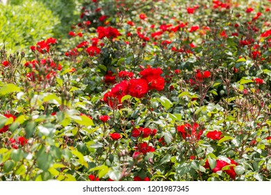 Garden of rose for the street of the city