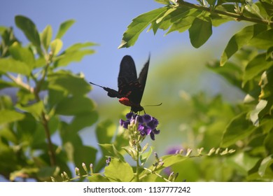 Garden with a scarlet mormon butterfly on a purple flower.