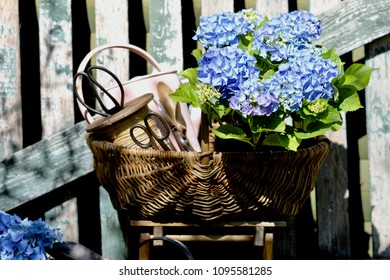 Garden scene with hydrangea, watering can, gardening tools in old wicker basket on aged stool on weathered fence background, floral composition, daylight