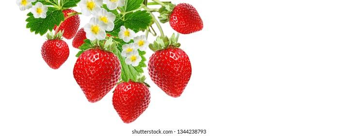 garden seasonal fresh strawberry
