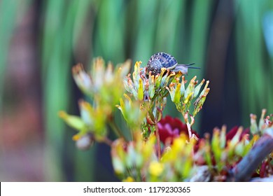 Garden snail among the yellow flowers and maroon leaves of the Kalanchoe Longiflora plant. Plant is native to South Africa. Picture taken in the Western Cape, South Africa.