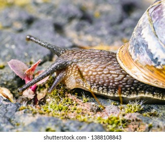 Garden Snail, Brown on A Moss Brick Wall. Slimy . Isolated Macro Close Up. Eye Focus.