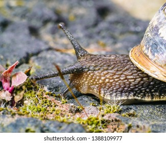 Garden Snail, Brown on A Moss Brick Wall. Slimy . Isolated Macro Close Up. Focus on eye.