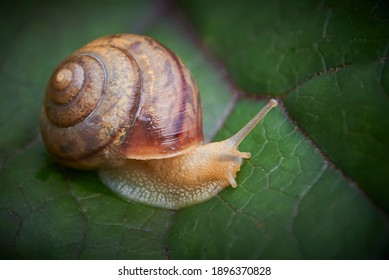 garden snail close up on a leaf of buzulnik toothed in the garden