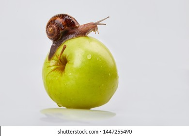 Garden Snail crawling on an apple on a white background. Studio shot. Helix Aspersa Muller, Maxima Snail, Organic Farming, Snail Farming. Mollusk snail with brown striped shell