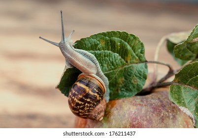 Garden Snail crawling on fresh Apple