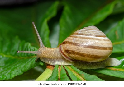 Garden snail with green leaf