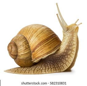 Garden snail isolated on white.