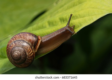 Garden snail on a green leaf. Natural green background. Macro photo