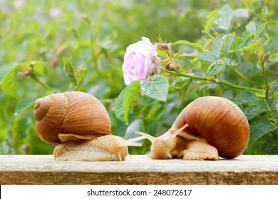 garden snails closeup rose wet spring background