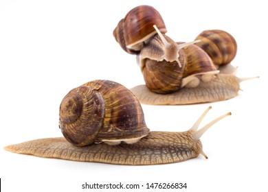 Garden snails (Helix aspersa) isolated on white background. Teamwork concept