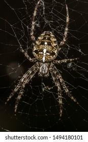 garden spider (Araneus diadematus) on the web