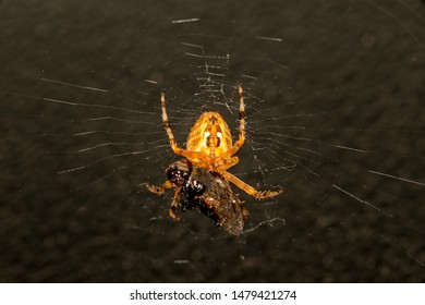 garden spider with caught fly