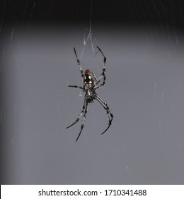 A garden spider hanging from a web