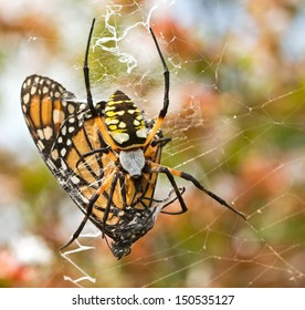 Garden spider with Monarch butterfly caught in web