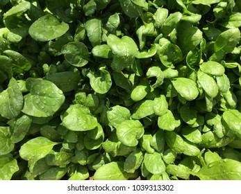 Garden spinach leaves
