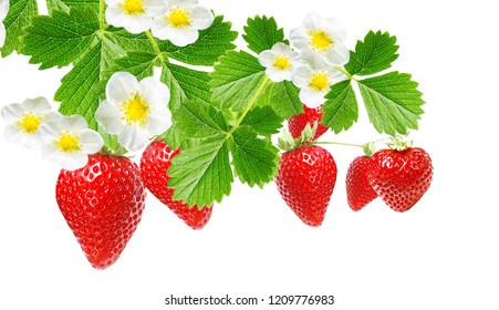 garden strawberries on white isolated
