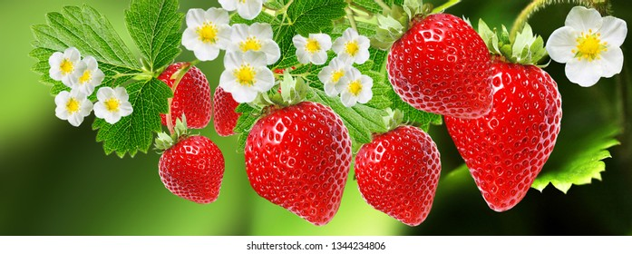 garden strawberry season