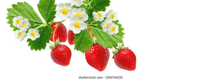 garden tasty fresh strawberry