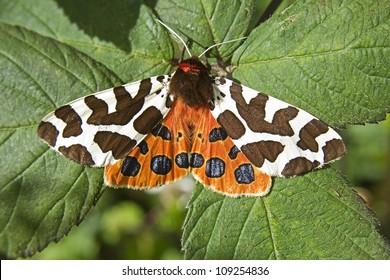 Garden Tiger Moth (Arctia caja) sat on leaves