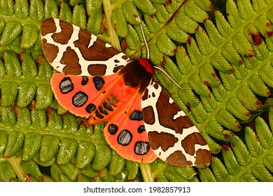 Garden tiger moth colorful night butterfly or or Arctia caja with open wings with conspicuous pattern frightening predators