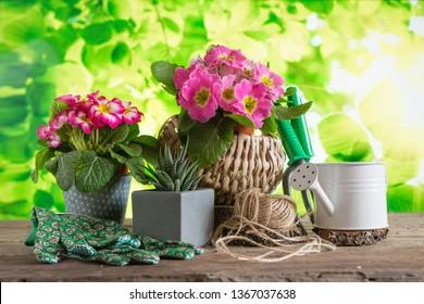 Garden tools and spring blooming primrose flowers on the garden terrace, gardening concept in spring, garden hobbies