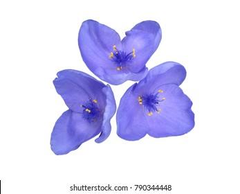Garden Tradescantia (spiderworts) blue flowers isolated on white.