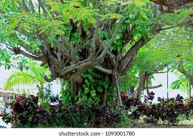 Garden tree in Cozumel