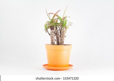garden tree in pot