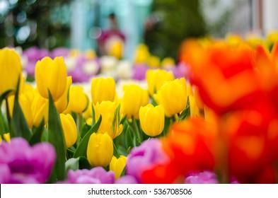 Garden tulip yellow red and white purple