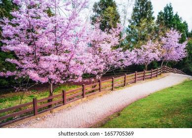 Caminata de jardín con hermoso sukura rosa lleno de árbol de rama fondo con día soleado en la temporada de primavera, Taiwán